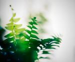 Echinacea - Εχινάτσια